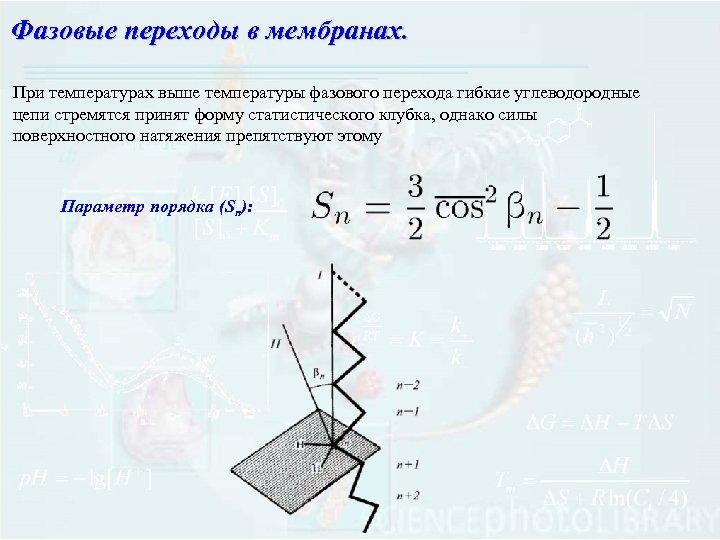 Фазовые переходы в мембранах. При температурах выше температуры фазового перехода гибкие углеводородные цепи стремятся