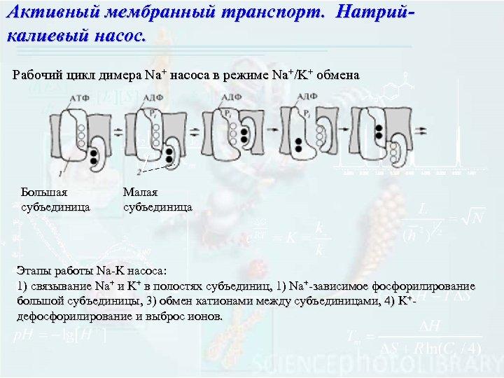 Активный мембранный транспорт. Натрийкалиевый насос. Рабочий цикл димера Na+ насоса в режиме Na+/K+ обмена