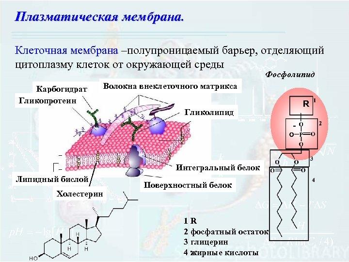 Плазматическая мембрана. Клеточная мембрана –полупроницаемый барьер, отделяющий цитоплазму клеток от окружающей среды Фосфолипид Карбогидрат