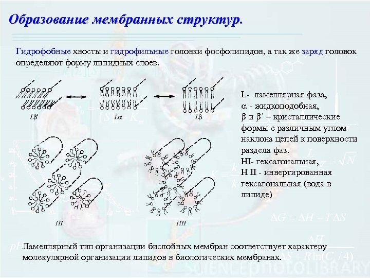 Образование мембранных структур. Гидрофобные хвосты и гидрофильные головки фосфолипидов, а так же заряд головок