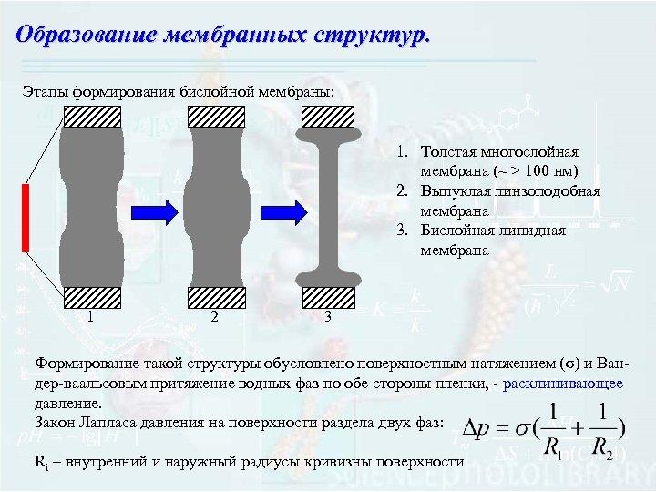 Образование мембранных структур. Этапы формирования бислойной мембраны: 1. Толстая многослойная мембрана (~ > 100