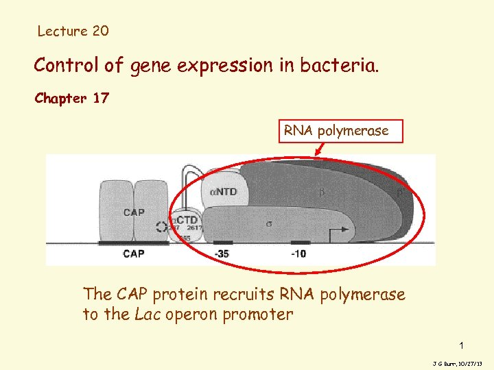Lecture 20 Control of gene expression in bacteria. Chapter 17 RNA polymerase The CAP