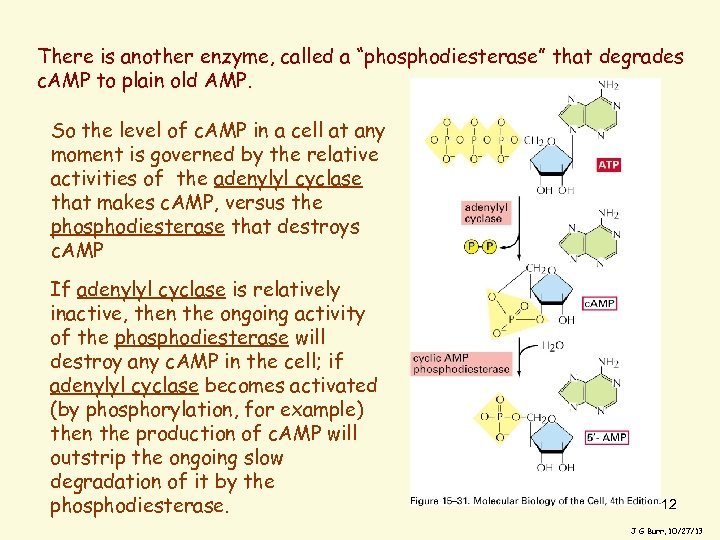 """There is another enzyme, called a """"phosphodiesterase"""" that degrades c. AMP to plain old"""