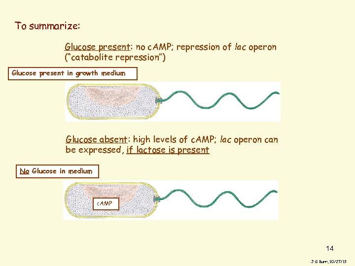 """To summarize: Glucose present: no c. AMP; repression of lac operon (""""catabolite repression"""") Glucose"""