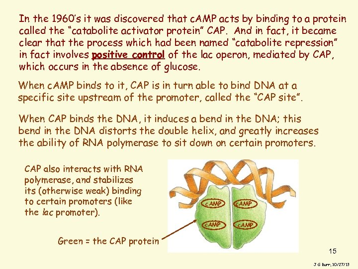 In the 1960's it was discovered that c. AMP acts by binding to a