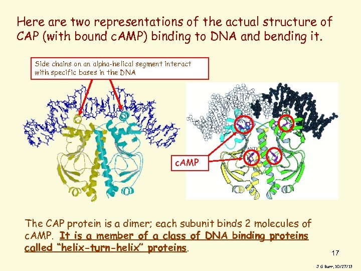 Here are two representations of the actual structure of CAP (with bound c. AMP)