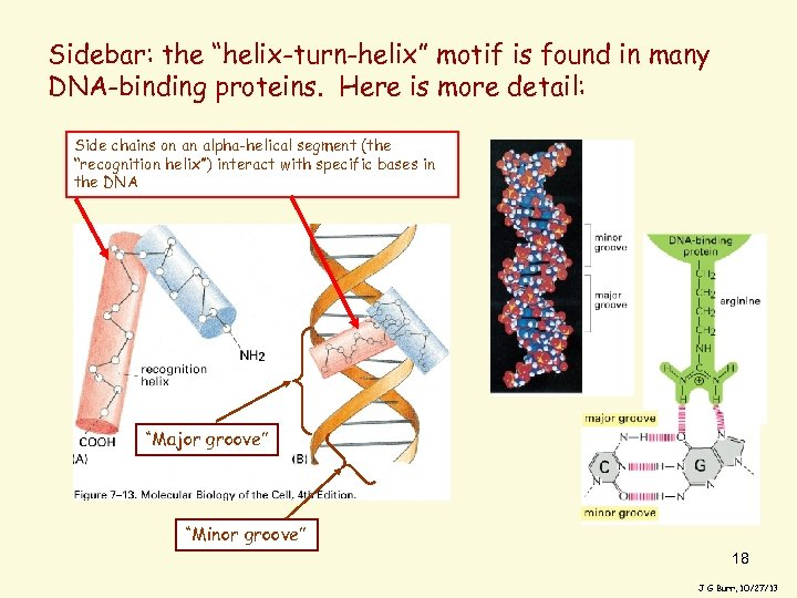 """Sidebar: the """"helix-turn-helix"""" motif is found in many DNA-binding proteins. Here is more detail:"""