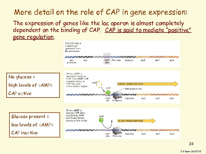 More detail on the role of CAP in gene expression: The expression of genes