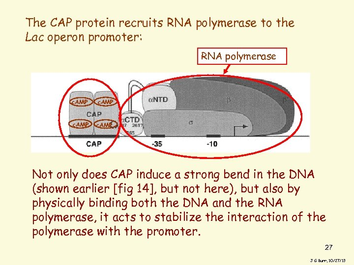 The CAP protein recruits RNA polymerase to the Lac operon promoter: RNA polymerase c.