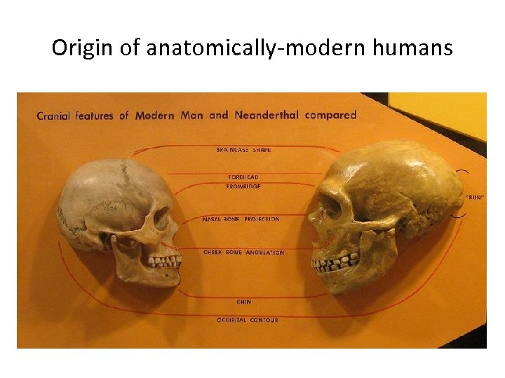 Origin of anatomically-modern humans