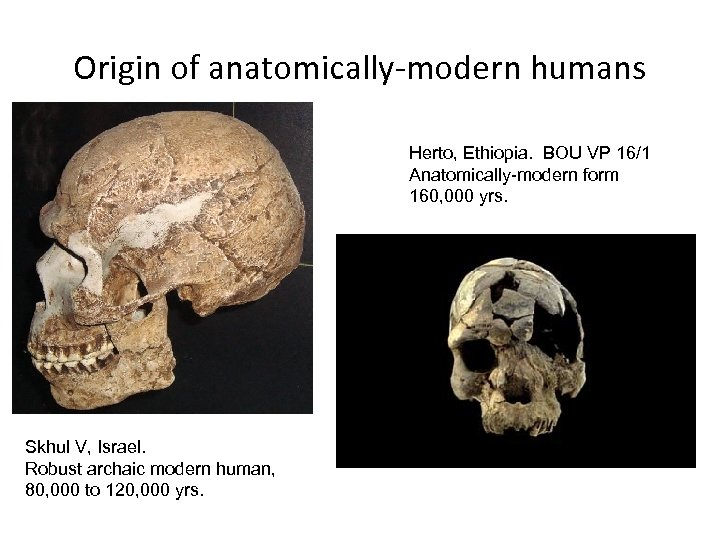Origin of anatomically-modern humans Herto, Ethiopia. BOU VP 16/1 Anatomically-modern form 160, 000 yrs.