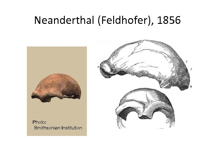 Neanderthal (Feldhofer), 1856 Photo: Smithsonian Institution