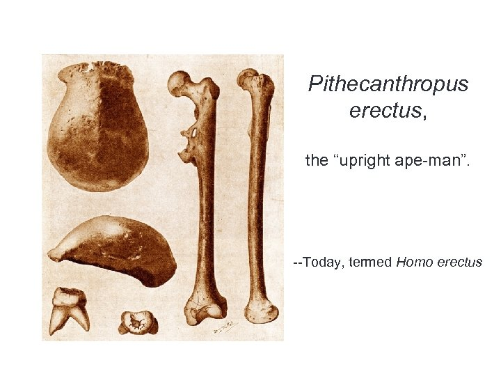 "Pithecanthropus erectus, the ""upright ape-man"". --Today, termed Homo erectus"