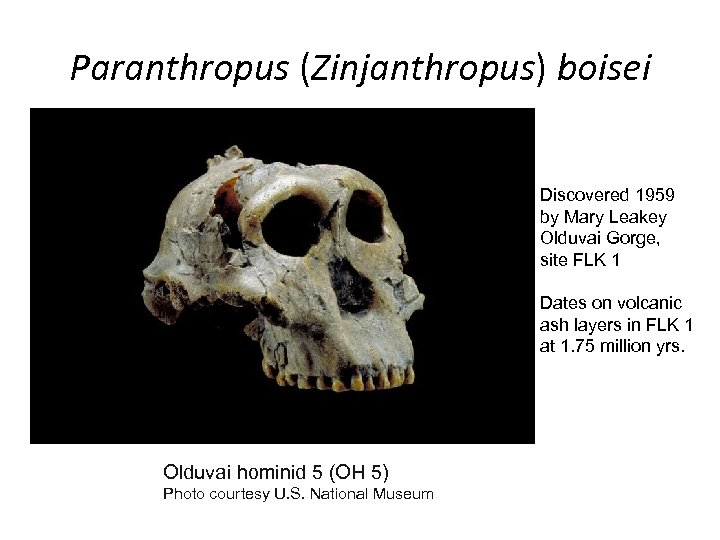 Paranthropus (Zinjanthropus) boisei Discovered 1959 by Mary Leakey Olduvai Gorge, site FLK 1 Dates