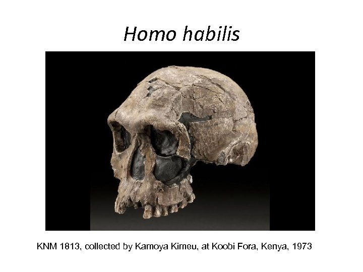 Homo habilis KNM 1813, collected by Kamoya Kimeu, at Koobi Fora, Kenya, 1973