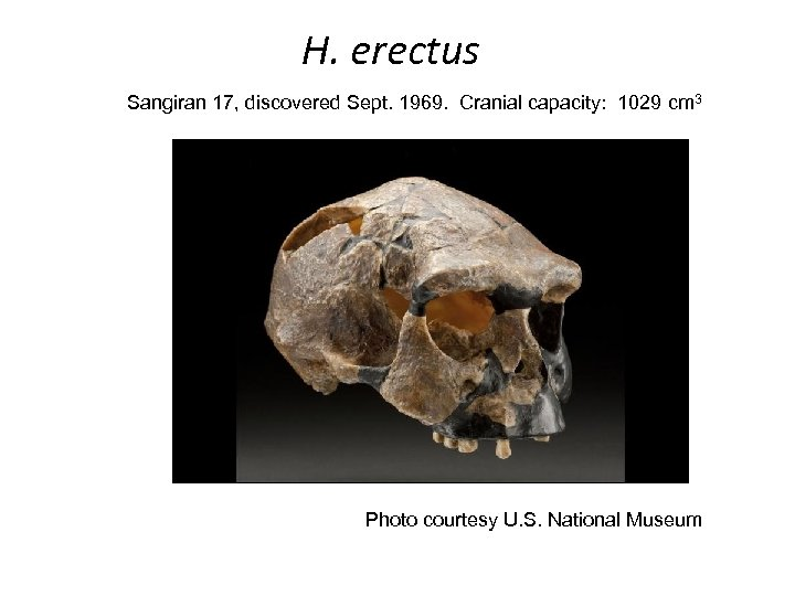 H. erectus Sangiran 17, discovered Sept. 1969. Cranial capacity: 1029 cm 3 Photo courtesy