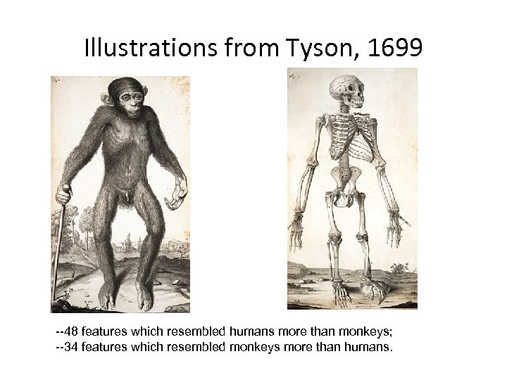 Illustrations from Tyson, 1699 --48 features which resembled humans more than monkeys; --34 features