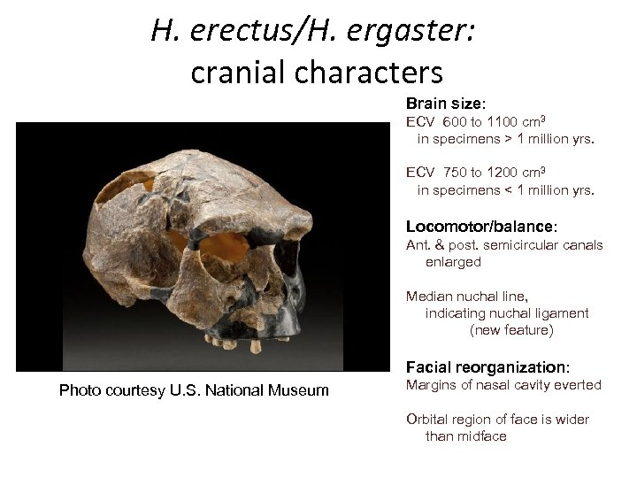 H. erectus/H. ergaster: cranial characters Brain size: ECV 600 to 1100 cm 3 in