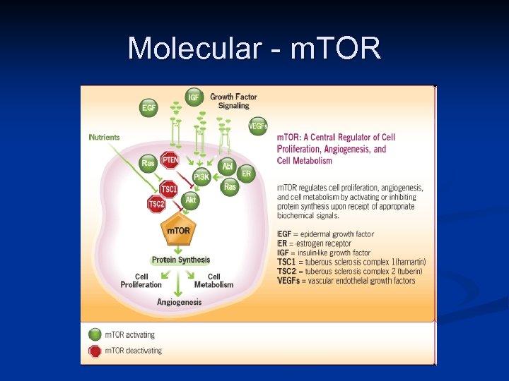 Molecular - m. TOR