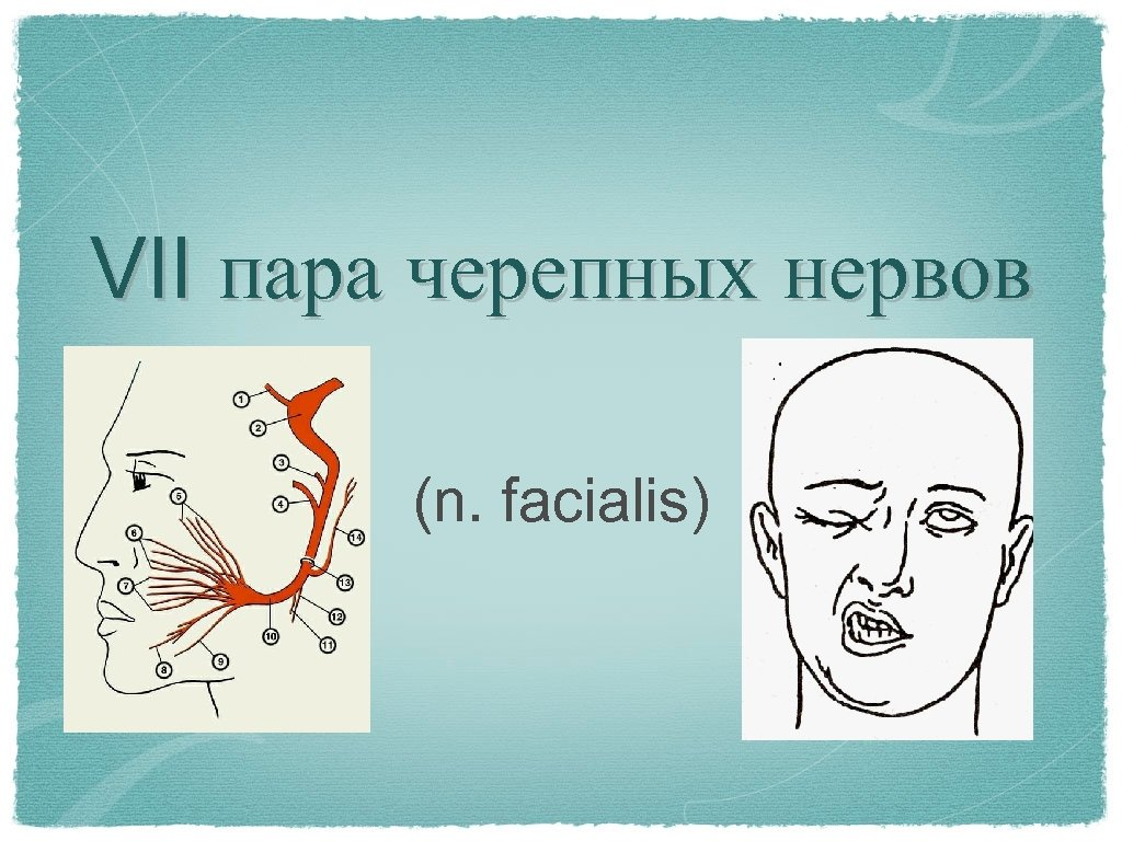 VII пара черепных нервов (n. facialis)