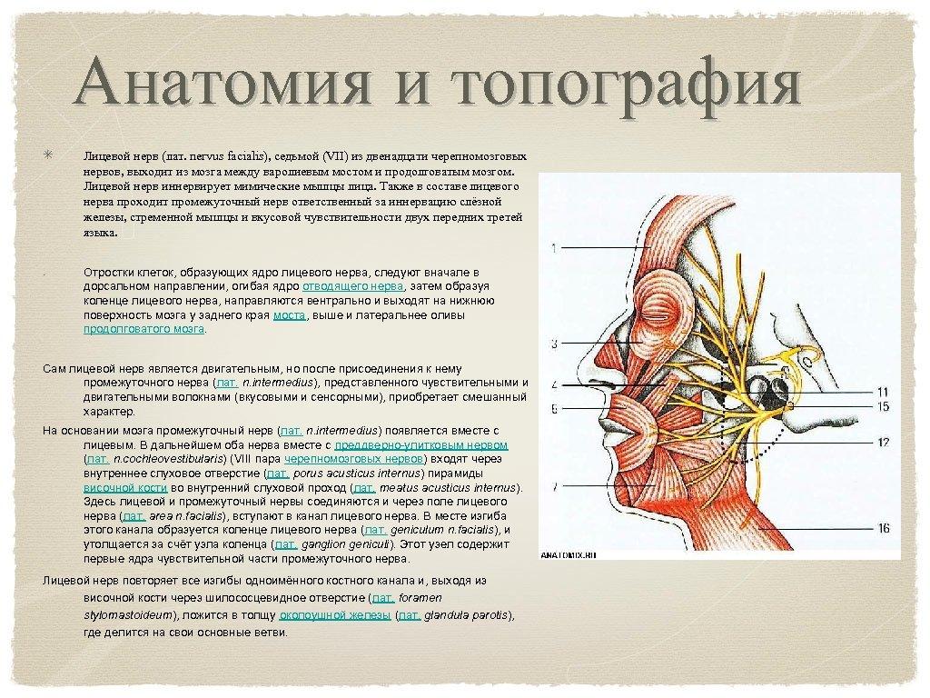 Анатомия и топография Лицевой нерв (лат. nervus facialis), седьмой (VII) из двенадцати черепномозговых нервов,
