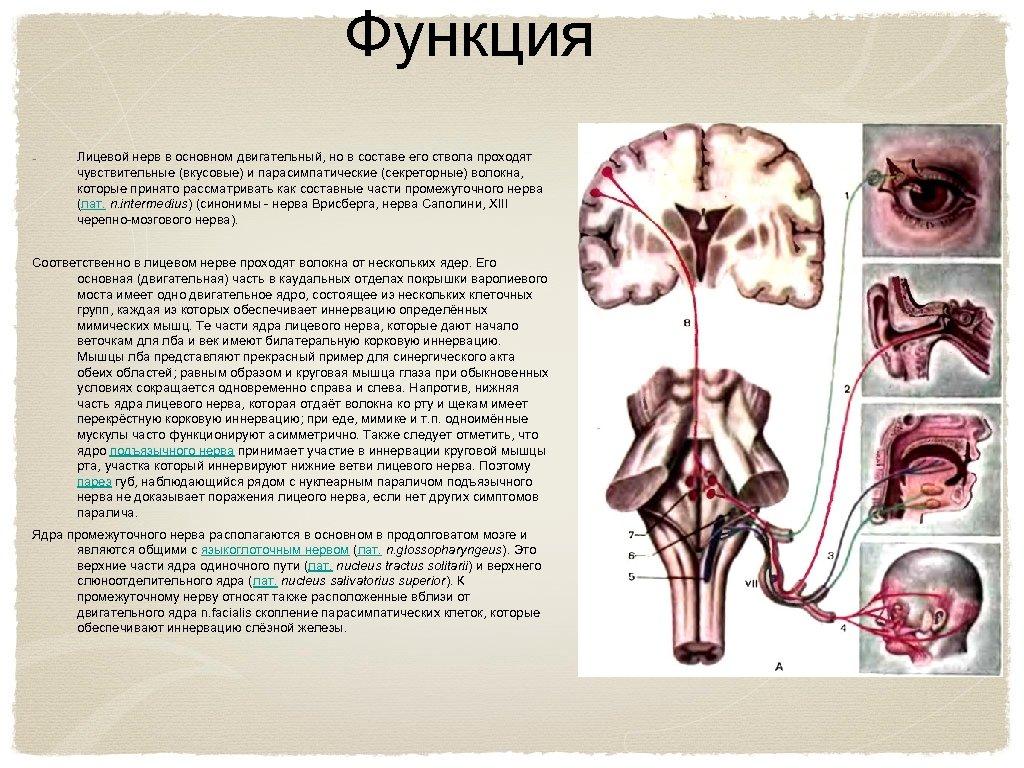Функция Лицевой нерв в основном двигательный, но в составе его ствола проходят чувствительные (вкусовые)
