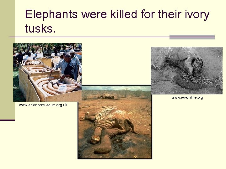 Elephants were killed for their ivory tusks. www. awionline. org www. sciencemuseum. org. uk