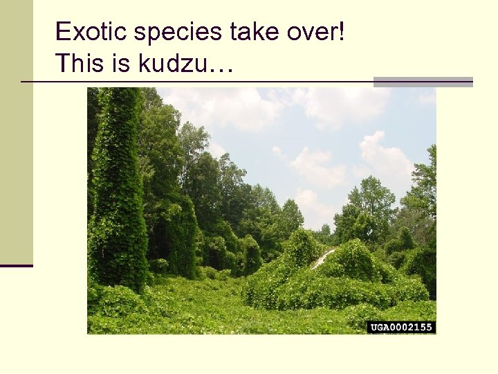 Exotic species take over! This is kudzu…