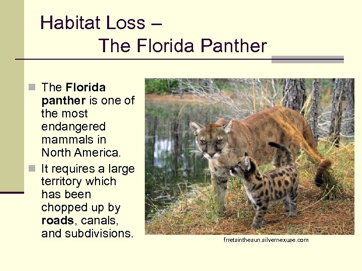 Habitat Loss – The Florida Panther n The Florida panther is one of the