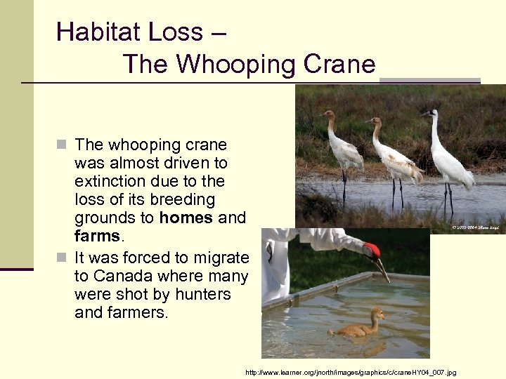 Habitat Loss – The Whooping Crane n The whooping crane was almost driven to