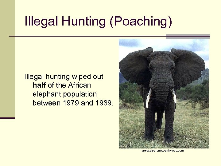 Illegal Hunting (Poaching) Illegal hunting wiped out half of the African elephant population between