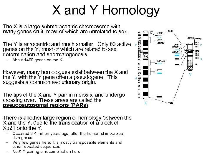 sex determination and sex chromosomes ppt presentation in of Abilene