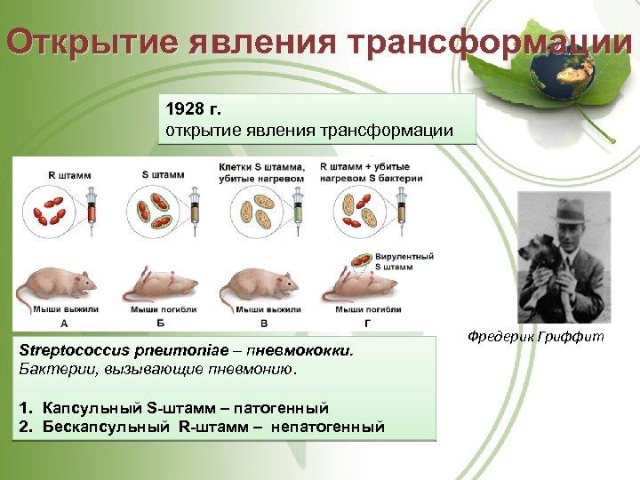 Открытие явления трансформации 1928 г. открытие явления трансформации Streptococcus pneumoniae – пневмококки. Бактерии, вызывающие