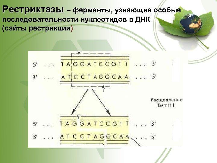 Рестриктазы – ферменты, узнающие особые последовательности нуклеотидов в ДНК (сайты рестрикции)