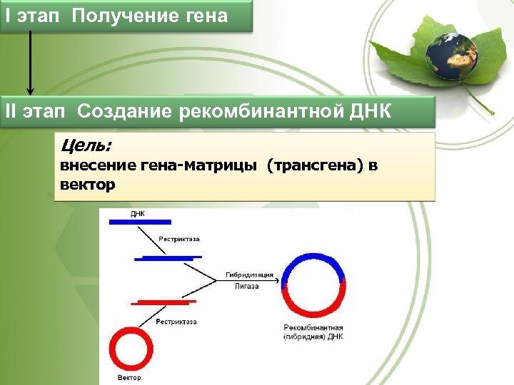 I этап Получение гена II этап Создание рекомбинантной ДНК Цель: внесение гена-матрицы (трансгена) в