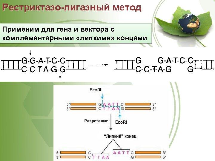 Рестриктазо-лигазный метод Применим для гена и вектора с комплементарными «липкими» концами