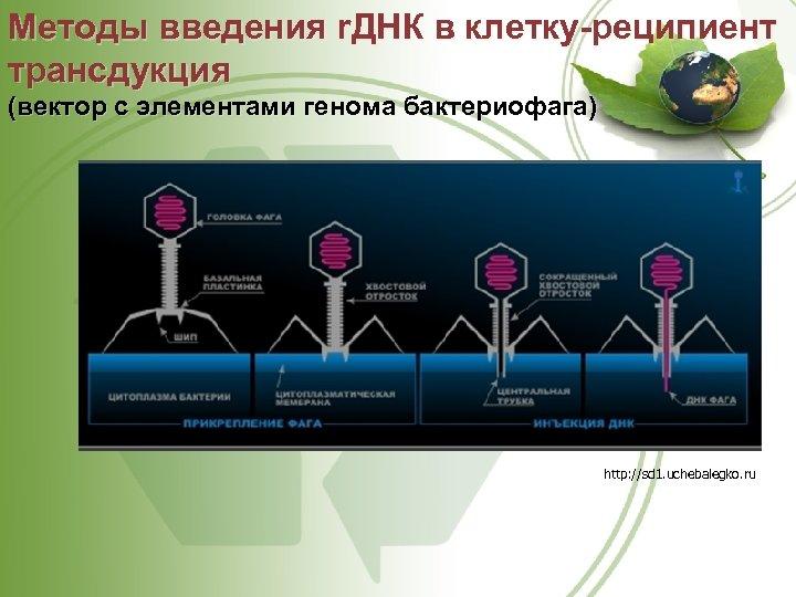 Методы введения r. ДНК в клетку-реципиент трансдукция (вектор с элементами генома бактериофага) http: //sd