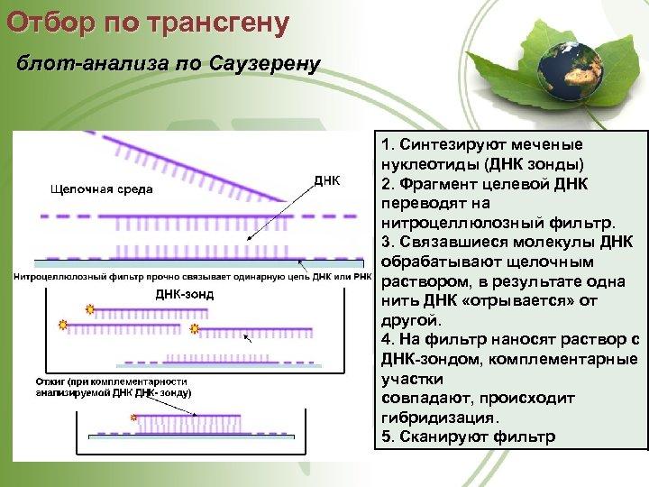 Отбор по трансгену блот-анализа по Саузерену 1. Синтезируют меченые нуклеотиды (ДНК зонды) 2. Фрагмент