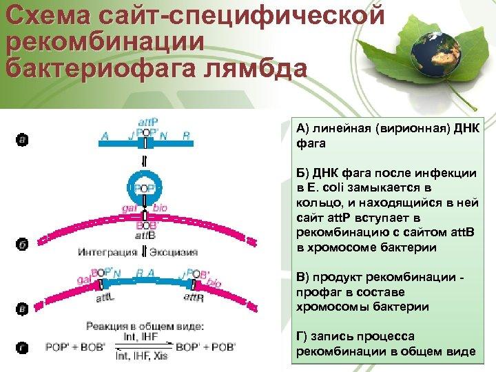 Схема сайт-специфической рекомбинации бактериофага лямбда А) линейная (вирионная) ДНК фага Б) ДНК фага после
