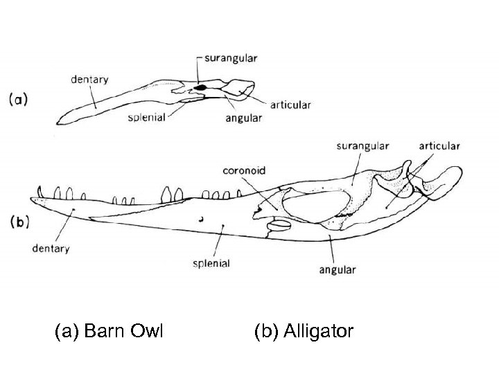 (a) Barn Owl (b) Alligator