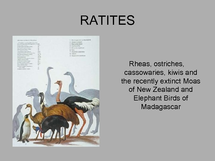 RATITES Rheas, ostriches, cassowaries, kiwis and the recently extinct Moas of New Zealand Elephant