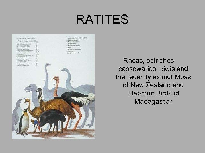 RATITES Rheas, ostriches, cassowaries, kiwis and the recently extinct Moas of New Zealand Elephant
