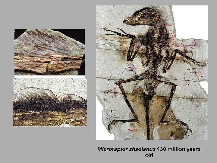 Microraptor zhaoianus 130 million years old