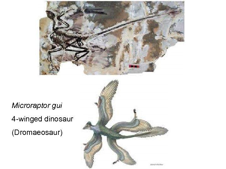 Microraptor gui 4 -winged dinosaur (Dromaeosaur)