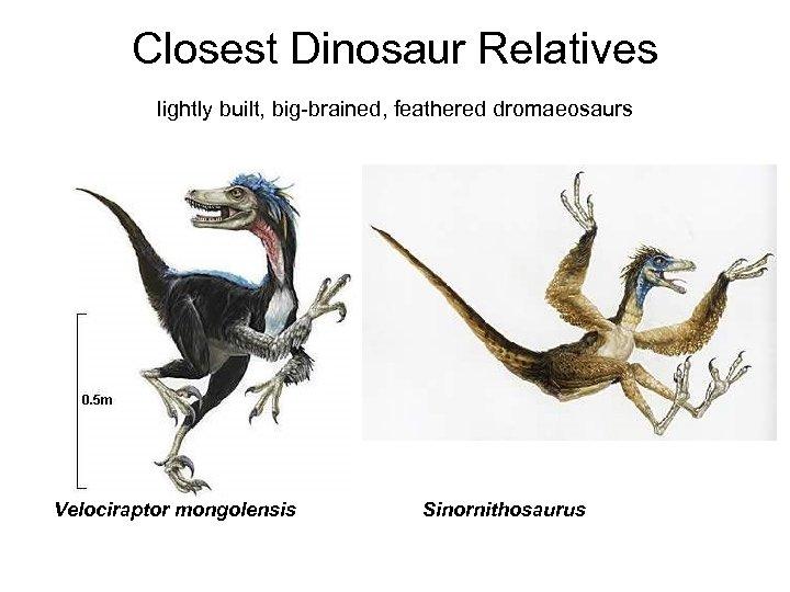 Closest Dinosaur Relatives lightly built, big-brained, feathered dromaeosaurs Velociraptor mongolensis Sinornithosaurus