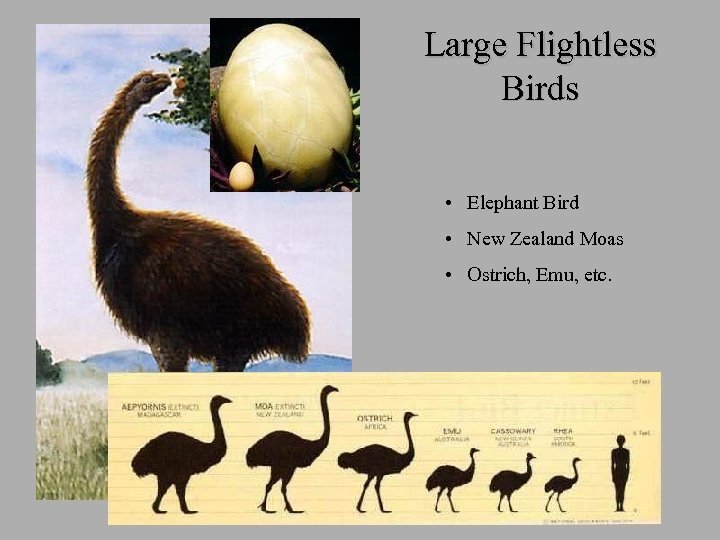 Large Flightless Birds • Elephant Bird • New Zealand Moas • Ostrich, Emu, etc.