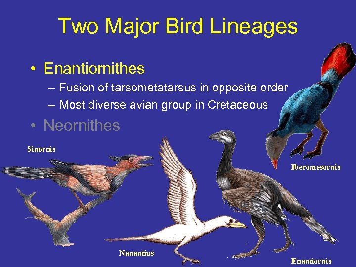 Two Major Bird Lineages • Enantiornithes – Fusion of tarsometatarsus in opposite order –