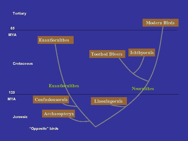 Tertiary Modern Birds 65 MYA Enantiornithes Toothed Divers Ichthyornis Cretaceous Enantiornithes Neornithes 135 MYA