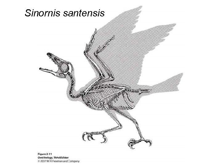 Sinornis santensis