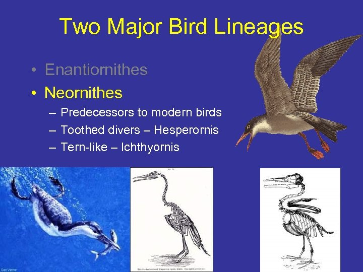 Two Major Bird Lineages • Enantiornithes • Neornithes – Predecessors to modern birds –